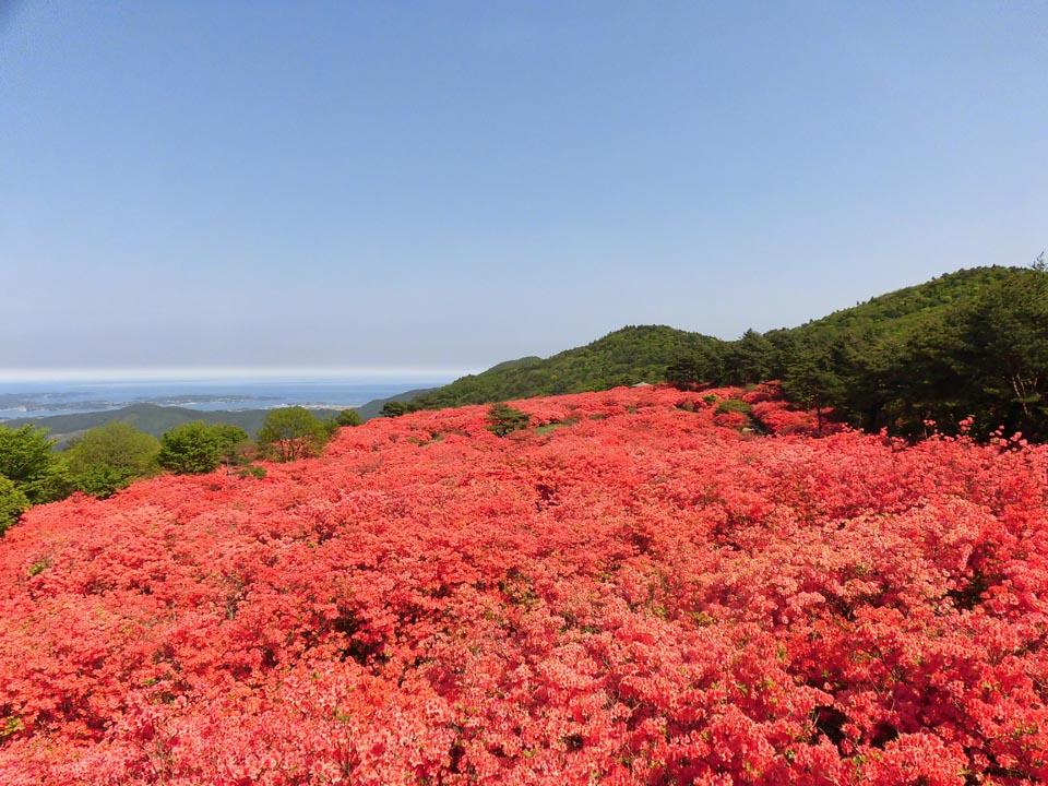 Mt. Tokusenjo, Japan's #1 Azalea Spot